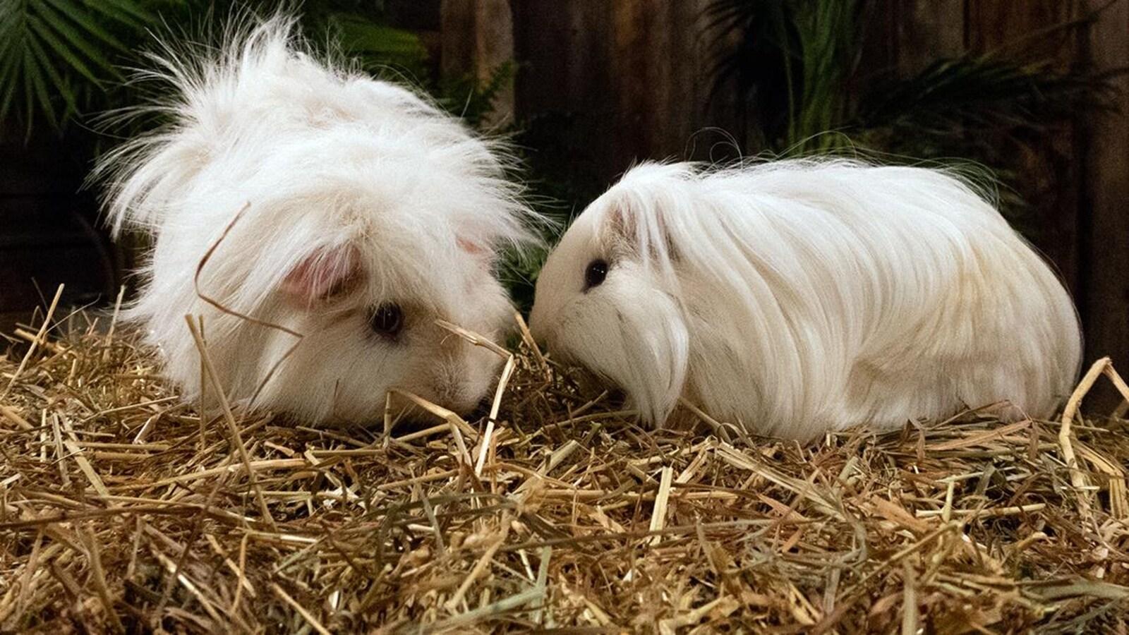 Deux cochons d'Inde sur de la paille.