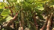 Des haricots sur leur plants
