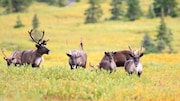 Sur l'image, des caribous des bois menacés de disparition. Ils sont en petit troupeau sur des herbes jaunes. Au fond de l'image, des mini-sapins verts.