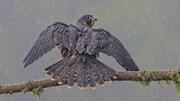 Un faucon pèlerin avec un plumage noir taché de jaune au repos perché sur une branche d'arbre. La branche est recouverte de part et d'autre de fougère verte. Des gouttes de pluie apparaissent dans l'image.