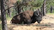 Un bison des bois au repos dans le sable d'une forêt boréale. Quelques herbes éparses autour et de gros arbres bruns et verts.