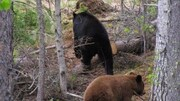Des ours, une noire et une brune, en promenade dans une forêt boréale. Il y a des arbres coupés par terre sur de l'herbe sèche.