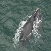 Image d'une baleine et de son baleineau