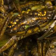 Gros plan sur un petit crabe vert