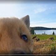 Un petit renard s'approche de la caméra que Luc Farrell a installée au niveau du sol.