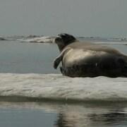 Un phoque barbu sur la glace