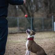 Un chien joue avec une balle attachée à une corde. Il est assis à attendre les ordres