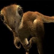 Reconstitution d'un bébé T-rex.