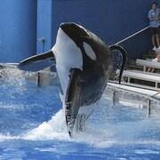 Photo de l'épaulard Tilikum lors d'un spectacle au parc SeaWorld d'Orlando, en Floride, en 2009.