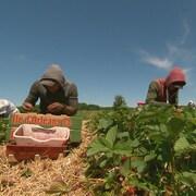 On voit des travailleurs à genoux dans la plantation de fraises, en train de récolter les fruits.