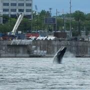 La baleine effectue un saut.