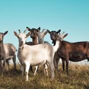 Un groupe de chèvres dans un champ.