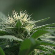 Un plant de cannabis