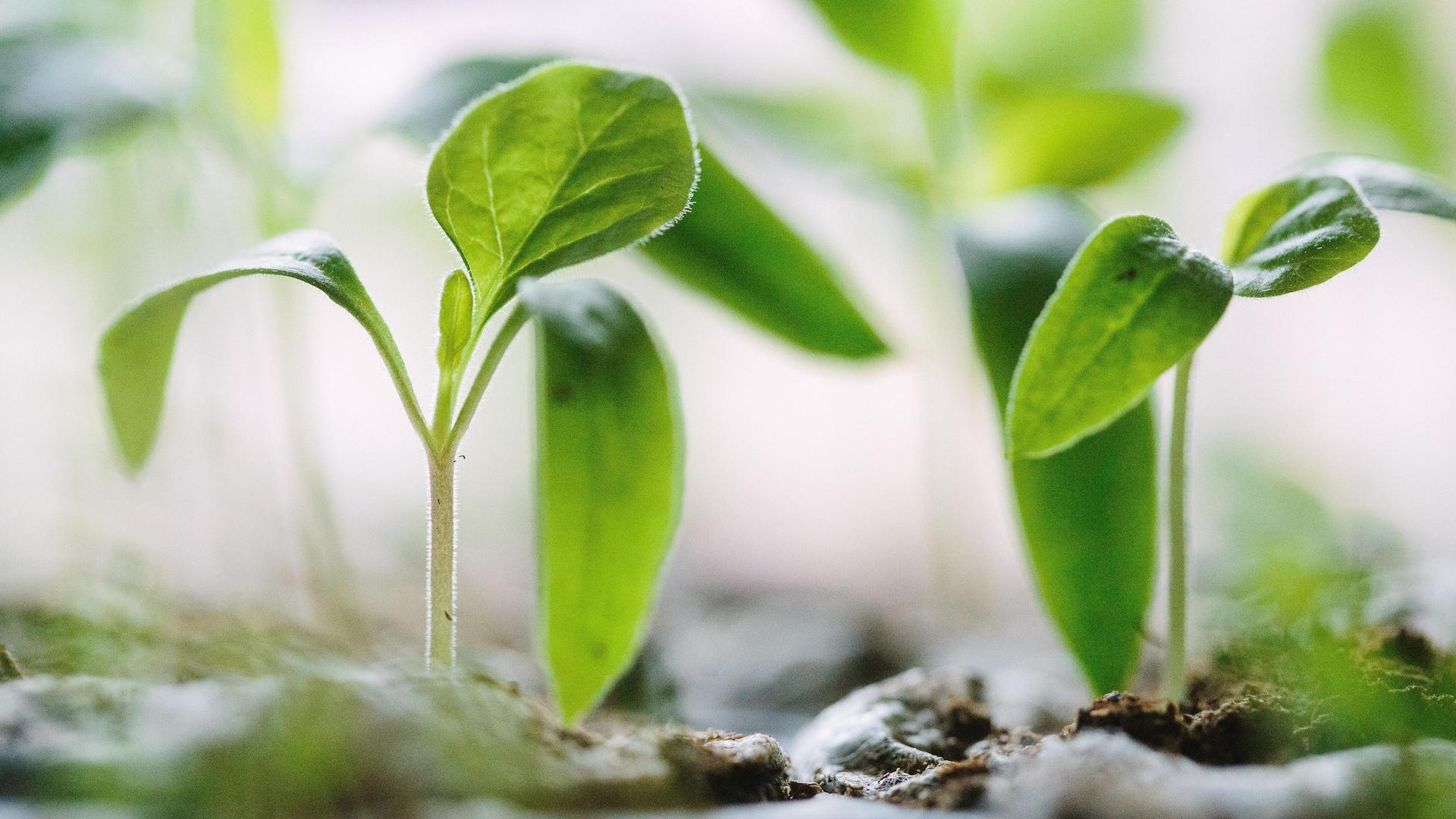 Des pousses ont été plantées dans des petits pots de formes carrées.
