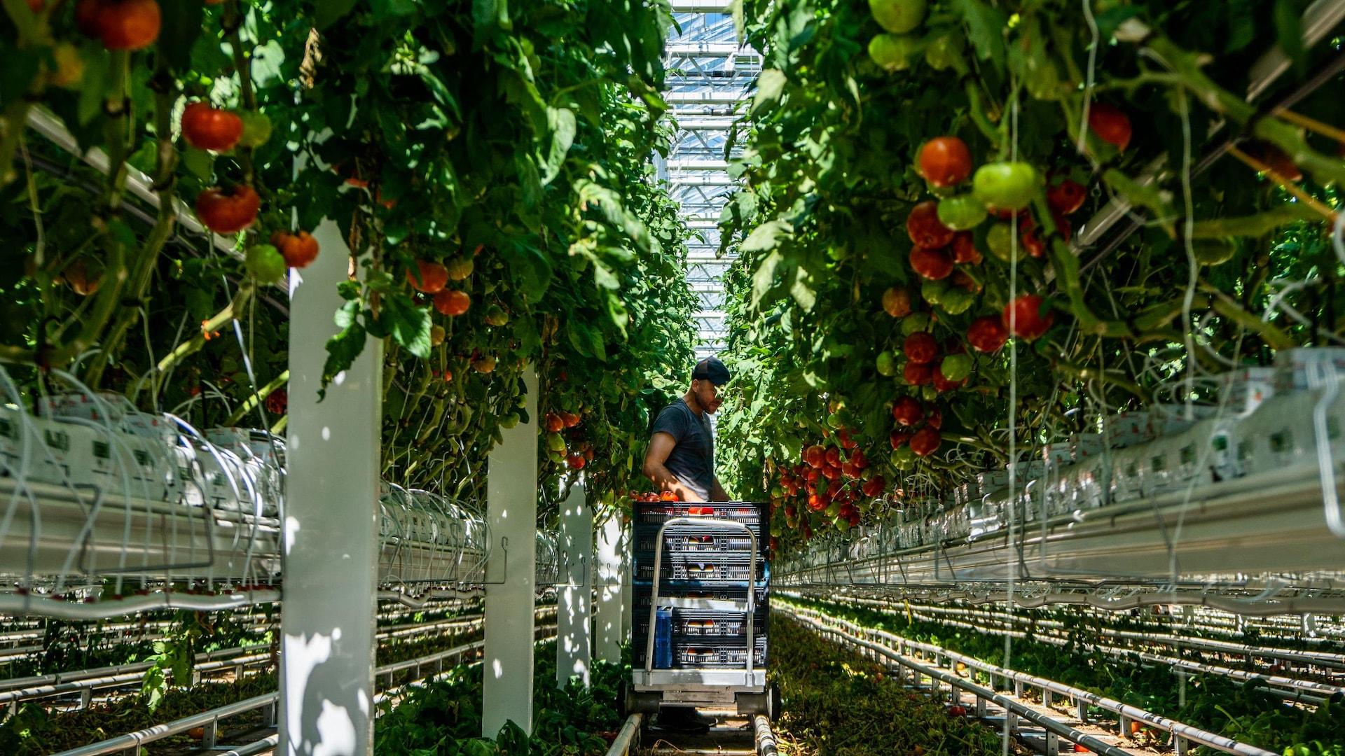 Un employé récolte les tomates mûres de la journée dans une serre de Lufa.