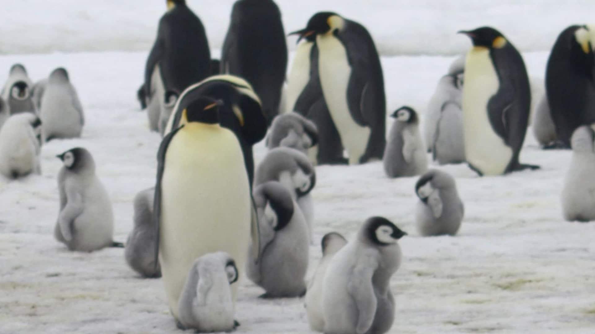 Des manchots empereurs et des poussins à Halley Bay en Antarctique