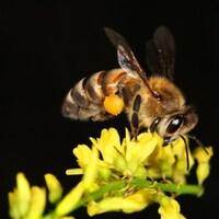 Une abeille mellifère sur une fleur.