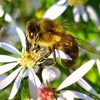 Une abeille butine une fleur.