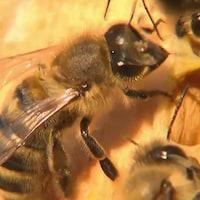 Gros plan sur des abeilles dans une ruche.