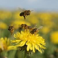 Cinq abeilles butinent sur une fleur.