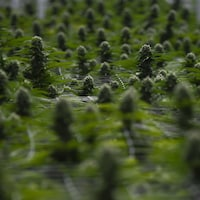 Des plants de cannabis arrivés à maturation dans un centre de production.