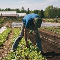 Un homme ramasse des légumes dans un champ.