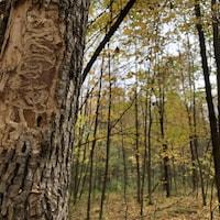Des galeries creusées par les larves de l'agrile sous l'écorce d'un frêne.