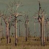 Forêt d'arbres morts.