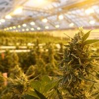 Une fleur d'un plant de marijuana médicinale dans une serre d'Aphria.