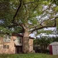 Le tronc de l'arbre pousse à quelques mètres de la maison.