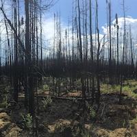 Vue de la forêt boréale à Fort McMurray en juillet 2016, deux mois après le feu de forêt. On voit des arbres calcinés et de la verdure qui repousse, par terre.