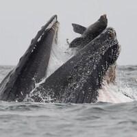 Une baleine à bosse avec un lion de mer dans sa gueule.