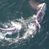 Une baleine noire dans l'océan.