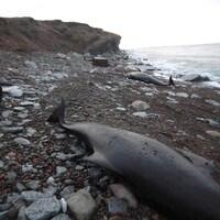 Des carcasses de dauphin-pilote sur la plage.