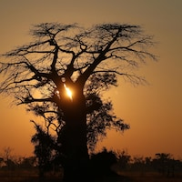 Le Soleil se lève derrière un baobad dans le delta d'Okavango au  Botswana.