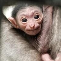 la photo montre de près la tête et le visage du bébé gibbon dont on voit aussi les bras repliés.