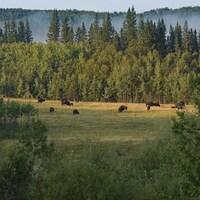 Un troupeau de bisons dans le lointain entouré par les arbres du parc national de Prince Albert.
