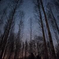 Une forêt de bouleaux la nuit.