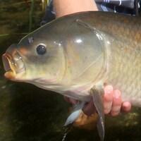 Le corps d'un poisson buffle à grande bouche.