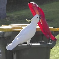 Un cacatoès de Sydney ouvre une poubelle pour trouver de la nourriture.