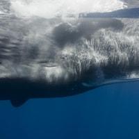 La tête allongée d'un grand cachalot sous l'eau.
