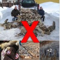 Quatre photos montrent des coyotes morts et des manteaux Canada Goose.