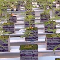Des plantes de cannabis alignées dans une usine de production.