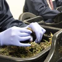 Un employé coupe des fleurs de cannabis à la main.