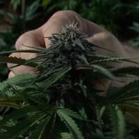 Un plan de cannabis.