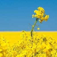 Un champ de canola en fleurs, avec une ferme au loin