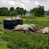 Des carcasses de porcs débordent d'un conteneur en Beauce.