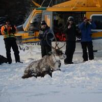 Un caribou capturé couché devant un hélicoptère.