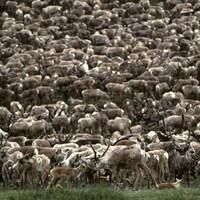 Des caribous du troupeau Porcupine, au Yukon en 2002.