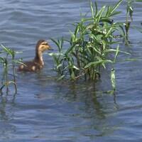 Un canard se déplace parmi des plants de carmantine d'Amérique.